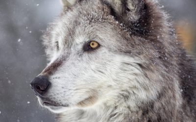 Is Lone Wolf Thinking No Longer Relevant In The Current Business World? We Think It's Complicated!